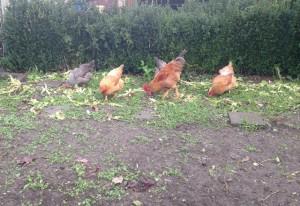 Les poules nettoient le potager