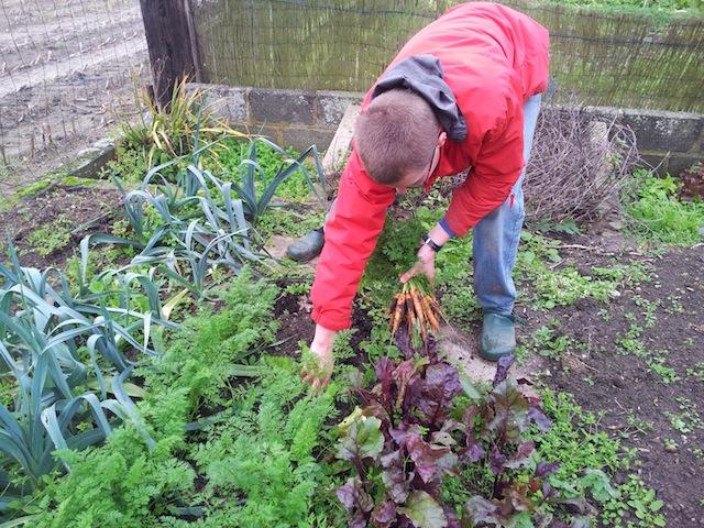 Récolte des carottes