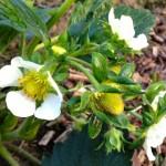 fraisiers en fleurs
