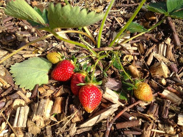 Découvrez Comment Cultiver Facilement Vos Fraises Bio Au Jardin !