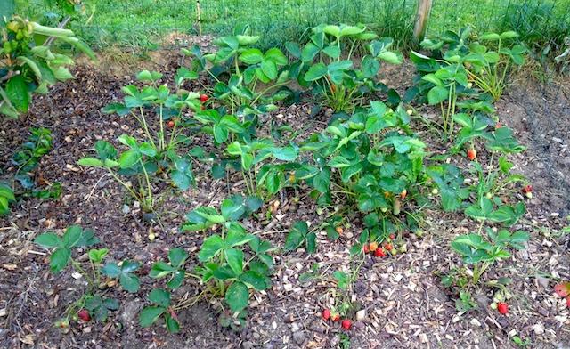 d couvrez comment cultiver facilement vos fraises bio au jardin. Black Bedroom Furniture Sets. Home Design Ideas