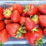 Récolte de belles fraises