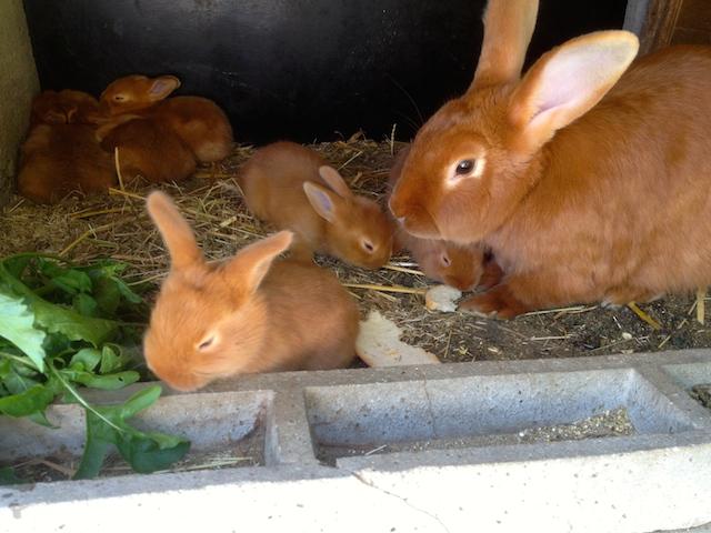 Les lapereaux âgés de trois semaines
