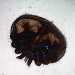 Varroa face ventrale