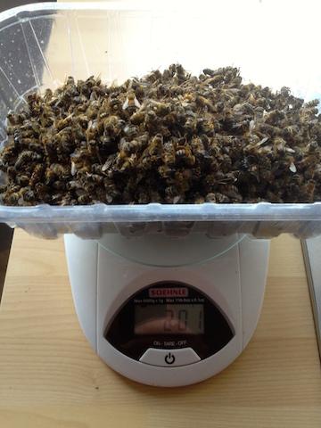 environ 2000 abeilles mortes