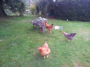 Les poules cherchent elles-mêmes leur nourriture