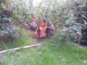 Les poules sont libres pendant la journée