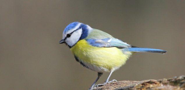 Les oiseaux : auxiliaires indispensables au potager