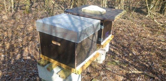 Sortie d'hivernage des abeilles